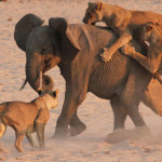 Lions attack an elephant.